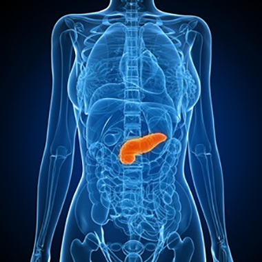 Healthy pancreas, computer artwork.